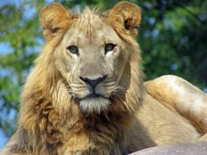 African_lion,_Seneca_Park_Zoo