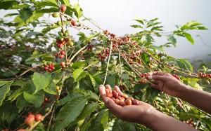 coffee-cherries_3196092b